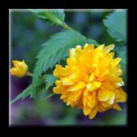 Керия японика / Kerria japonica
