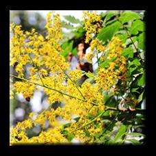Китайски мехурник / Koelreuteria paniculata