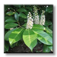 Лавровишна / Laurocerasus officinalis