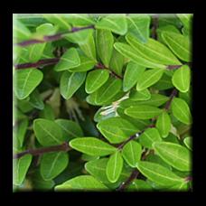 Лоницера Зелена / Lonicera pileata