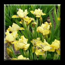 Жълт мини ирис / Mini iris