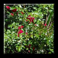 Мини роза - червена / Mini rose