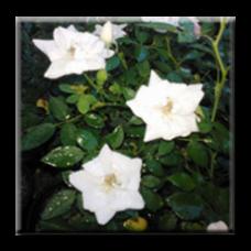 Мини роза - бяла / Mini rose