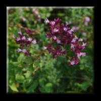 Риган / Origanum vulgare