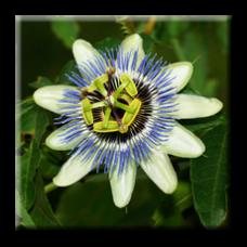 Пасифлора синя / Passiflora caerulea