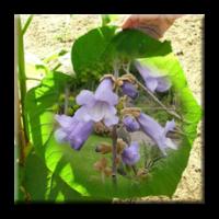 Пауловния Томентоса, Изумруденото дърво / Paulownia tomentosa
