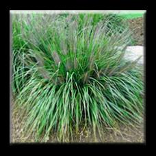 Пенисетум / Pennisetum alopecuroides 'Moudry'