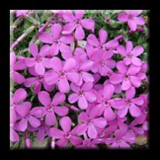 Флокс розов / Phlox subulata Emerald Pink