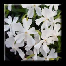 Флокс стелещ бял / Phlox subulata White
