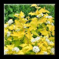 Физокарпус жълт / Physocarpus opulifolius aureus