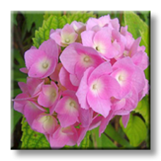 Хортензия - розова / Hydrangea
