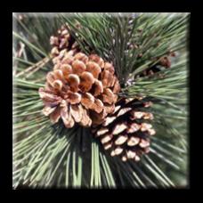 Черен бор / Pinus nigra