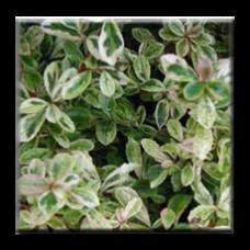 Пираканта пъстролистна / Pyracantha variegata