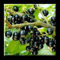 Касис, Черно френско грозде / Ribes nigrum