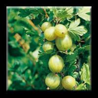 Цариградско грозде / Ribes uva crispa