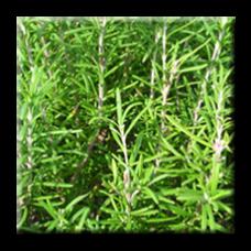 Розмарин / Rosmarinus officinalis