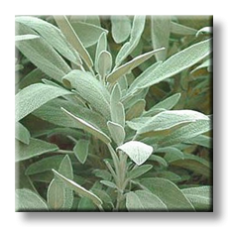 Салвия, Градински чай / Salvia officinalis