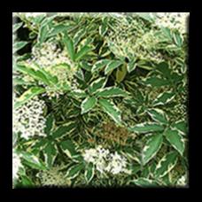Черен бъз пъстролистен / Sambucus nigra Variegata