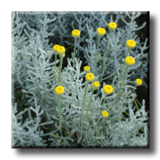 Сантолина Сребриста / Santolina chamaecyparissus