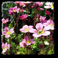 Саксифрага розова / Saxifraga X arendsii