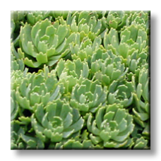 Тлъстига, Седум дебелолистен / Sedum pachyclados