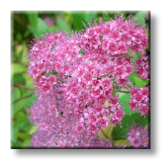Спирея японика / Spiraea Japonica Anthony waterer