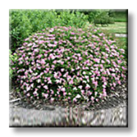 Спирея японика / Spiraea japonica Little princess