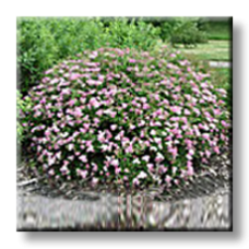 Спирея японика / Spiraea japonica Little princess