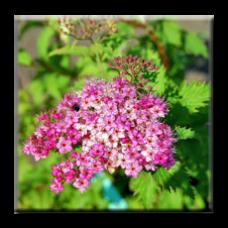 Спирея японика Криспа / Spiraea japonica Crispa
