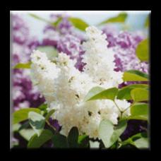 Люляк / Syringa vulgaris