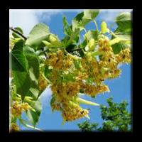 Липа / Tilia argentea